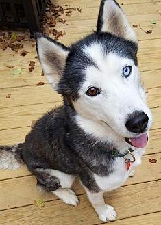 Siberian Husky Mix Dog for adoption in Holly Springs, North Carolina - Spirit QB