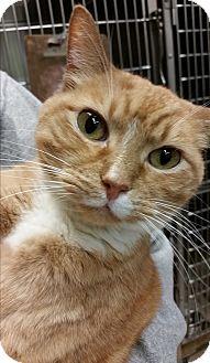 Domestic Shorthair Cat for adoption in Alpharetta, Georgia - Aubie