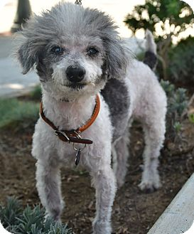 Poodle (Miniature) Mix Dog for adoption in Santa Monica, California - Clyde