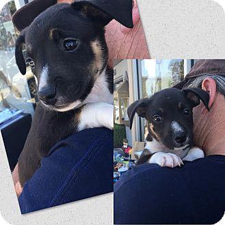 Australian Shepherd/Hound (Unknown Type) Mix Puppy for adoption in South San Francisco, California - Batman