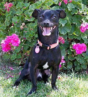 Chihuahua/Miniature Pinscher Mix Dog for adoption in Encino, California - Paco