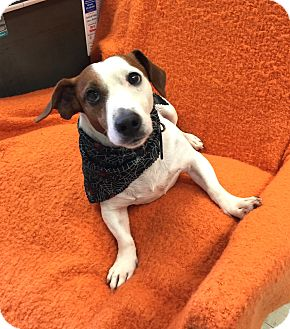 Jack Russell Terrier Mix Dog for adoption in Hillsboro, Illinois - Max