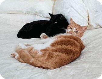 Domestic Shorthair Cat for adoption in El Dorado Hills, California - Orange Cat