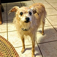 Adopt A Pet :: Sissy / Courtesy Posting - Tucson, AZ