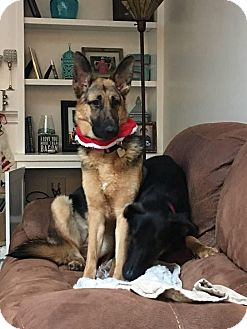 German Shepherd Dog Mix Puppy for adoption in Walnut Creek, California - Gwen