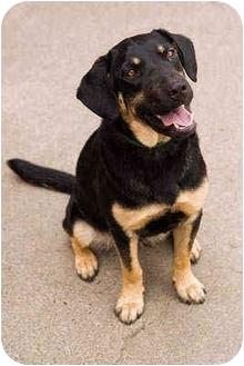 German Shepherd Dog/Labrador Retriever Mix Dog for adoption in Portland, Oregon - Baby