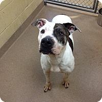 Adopt A Pet :: 1-2 Gia - Triadelphia, WV