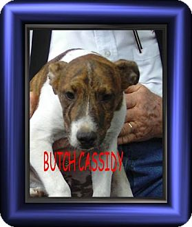 Terrier (Unknown Type, Medium)/Jack Russell Terrier Mix Puppy for adoption in Cushing, Oklahoma - x BUTCH CASSIDY ad