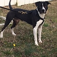 American Pit Bull Terrier Mix Puppy for adoption in Highland Springs, Virginia - Oreo