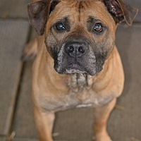 Boxer/Pit Bull Terrier Mix Dog for adoption in Greensburg, Pennsylvania - Kaige