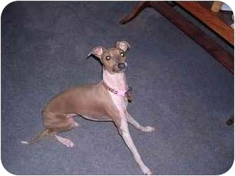 Italian Greyhound Dog for adoption in Centinnial, Colorado - latte
