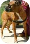Boxer Dog for adoption in Jacksonville, Florida - Flynn