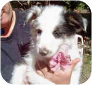 Australian Shepherd Mix Puppy for adoption in Mesa, Arizona - Snowbelle