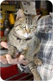 Domestic Shorthair Cat for adoption in Morden, Manitoba - Tom Thumb