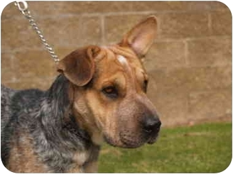 Australian Cattle Dog/Shar Pei Mix Dog for adoption in El Cajon, California - Bubba