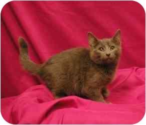 Russian Blue Kitten for adoption in Sacramento, California - Evan