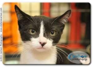 Domestic Longhair Kitten for adoption in Yorba Linda, California - Ezio