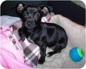 Chihuahua/Dachshund Mix Puppy for adoption in Tustin, California - Delgado