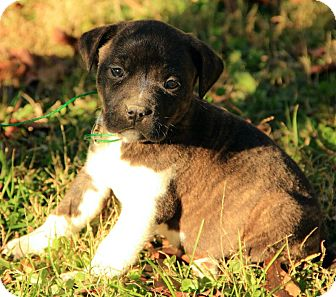 Boxer/Terrier (Unknown Type, Medium) Mix Puppy for adoption in Allentown, Pennsylvania - Chance