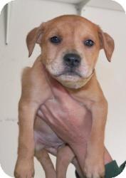 Australian Shepherd Mix Puppy for adoption in Las Vegas, Nevada - D's Dailyn