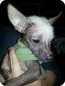 Xoloitzcuintle/Mexican Hairless Mix Puppy for adoption in Bridgeton, Missouri - Ricky