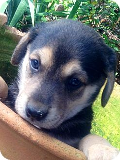 Australian Shepherd/Siberian Husky Mix Puppy for adoption in Marlton, New Jersey - Baxter