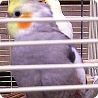 Adopt A Pet :: Cocoa - Lenexa, KS