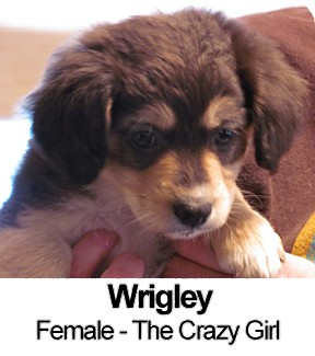 Australian Shepherd/Border Collie Mix Puppy for adoption in Lancaster, Pennsylvania - Wrigley Haubert