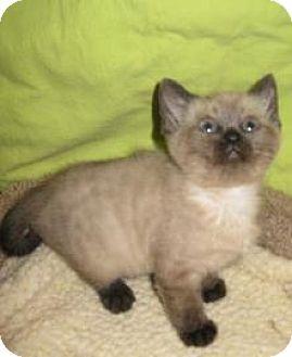 Siamese Kitten for adoption in HILLSBORO, Oregon - METU