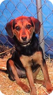 Beagle Mix Puppy for adoption in Lima, Pennsylvania - Zoey