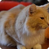 Domestic Longhair Cat for adoption in Chicago, Illinois - Plaid