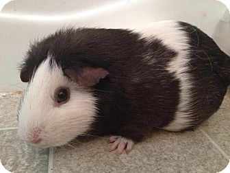 Guinea Pig for adoption in Warren, Michigan - Oposum