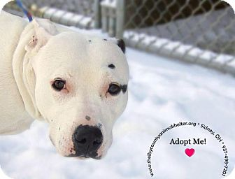 Pit Bull Terrier Mix Dog for adoption in Sidney, Ohio - Dottie