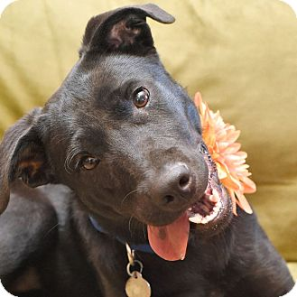 Labrador Retriever Mix Dog for adoption in Knoxville, Tennessee - Maggie