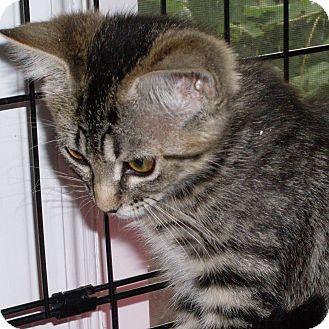 Domestic Shorthair Kitten for adoption in Buhl, Idaho - Anna Fae