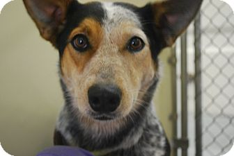 Anatolian Shepherd/Australian Cattle Dog Mix Dog for adoption in Twin Falls, Idaho - Snickers