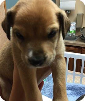 Terrier (Unknown Type, Medium) Mix Puppy for adoption in Powder Springs, Georgia - Rosie
