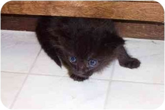 Domestic Shorthair Kitten for adoption in Davis, California - Gabby