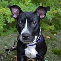 Pit Bull Terrier Mix Dog for adoption in Elizabethtown, Pennsylvania - Raven