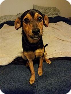 Miniature Pinscher Mix Dog for adoption in Gig Harbor, Washington - Wiz