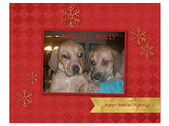 Beagle Mix Puppy for adoption in Ventnor City, New Jersey - NOELLE & HOLLY