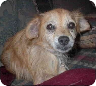 Terrier (Unknown Type, Small) Mix Dog for adoption in Sacramento, California - Taffy!