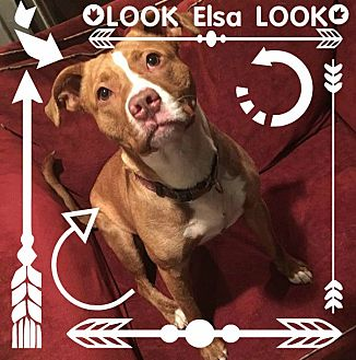 American Pit Bull Terrier Mix Dog for adoption in Des Moines, Iowa - Elsa-LOOK!
