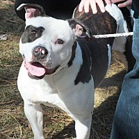 Pit Bull Terrier Mix Dog for adoption in Minneapolis, Minnesota - Bounce