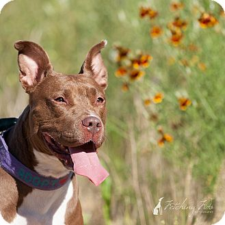American Staffordshire Terrier Mix Dog for adoption in Austin, Texas - Zoey