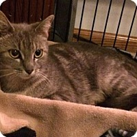 Domestic Shorthair Cat for adoption in Mission, Kansas - Purrfect Mrs. Potts