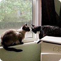 Domestic Longhair Cat for adoption in Norfolk, Virginia - Ellen