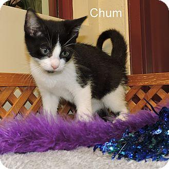 Domestic Shorthair Kitten for adoption in Slidell, Louisiana - Chum