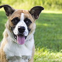 St. Bernard/German Shepherd Dog Mix Puppy for adoption in Warner Robins, Georgia - Irish