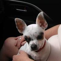 Adopt A Pet :: Tiny Man - Mission, KS